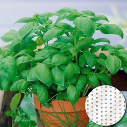 Saatscheiben Basilikum Aton, 10 cm Durchmesser