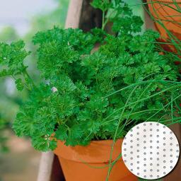 Saatscheiben Petersilie Mooskrause 2 Smaragd