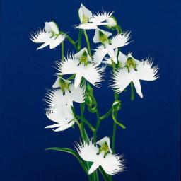 Japanische Vogelblume