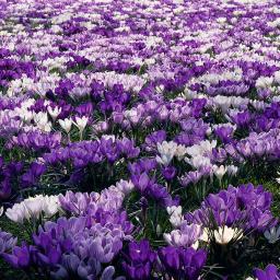Gartenkrokus-Mischung Krokuswiese Blaue Symphonie
