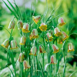 Glockenlilie Brunette