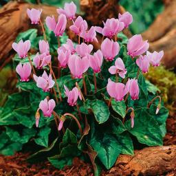 Herbst-Alpenveilchen, rosa