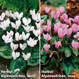 Blumenzwiebel-Sortiment Herbst-Alpenveilchen