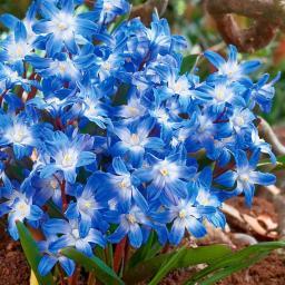 Schneeglanz Blue Giant