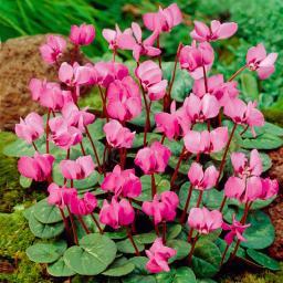 Rosa Vorfrühlings-Alpenveilchen