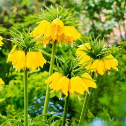 Kaiserkrone Lutea, gelb