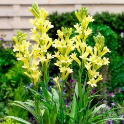 Tuberose Yellow Baby