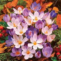 Herbstkrokus-Mischung