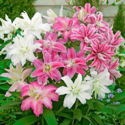 Gärtner Pötschkes Gefüllte Orientalische Lilien-Mischung