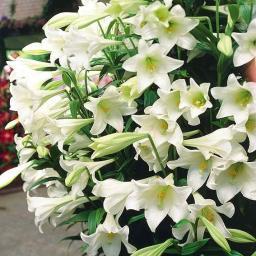 Trompetenlilie White Elegance
