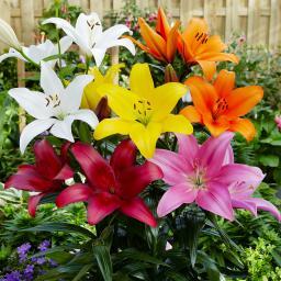 Gärtner Pötschkes Asiatische Gartenlilien-Mischung