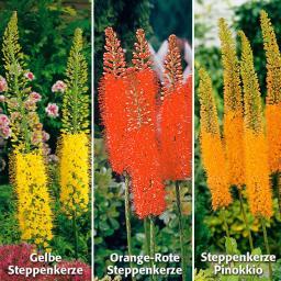 Blumenzwiebel-Sortiment Steppenkerzen