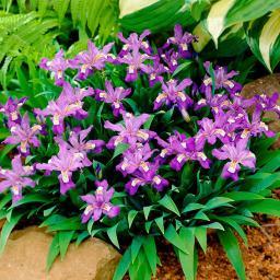 Zwerg-Iris Abbeys Violet