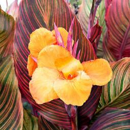Riesen-Canna Tropicanna (Indisches Blumenrohr)