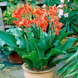 Canna Lucifer (Indisches Blumenrohr)