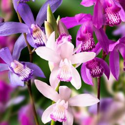 Japan-Orchideen-Mischung