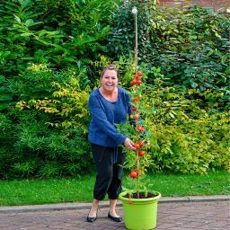 Tomaten-Rankspule , 3 Stück