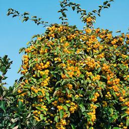 Gelbfruchtiger Vogelfutter-Baum