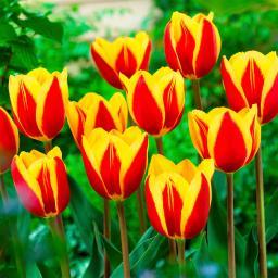 Gelbe Balkon Tulpe, 3 Stück, im ca. 11 cm-Topf