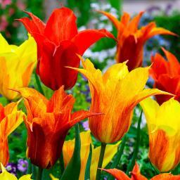 Tulpe Vendee Globe