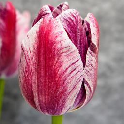 Tulpe Modern Art