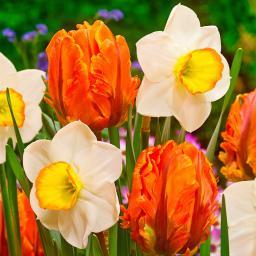 Gärtner Pötschkes Tulpen-Narzissen-Duett