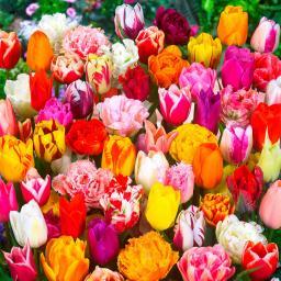 Tulpen-Garten-Mischung