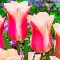 Tulpe Sanne
