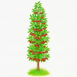 Säulen-Sauerkirsche Maynard®, im ca. 23 cm-Topf