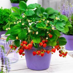 Sommer-Erdbeere, im ca. 11 cm-Topf
