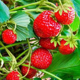 Erdbeerpflanze Fridulin Marmelin, getopft