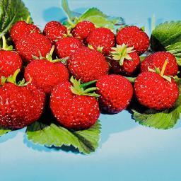 Erdbeerpflanze Mieze Schindler, getopft