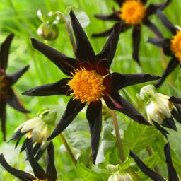 Orchideen-Dahlie Veronnes Obsidian