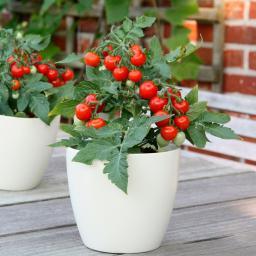 Gemüse-Pflanze Zwerg-Tomate