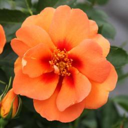 Strauchrose Orange Eyeconic®, im ca. 23 cm-Topf