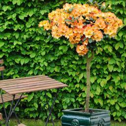 Rhododendron-Stämmchen Goldzauber