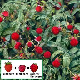 Erdbeerhimbeere