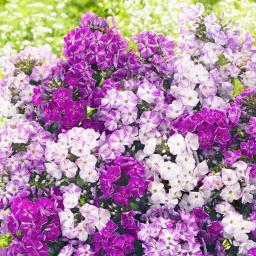 Zauberphlox Freckle Blue Shades