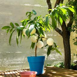 Weißer Balkon-Pfirsich Fruit Me® Peach Me Icepeach®, zweijährig