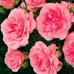 Rose Bonica ®, im 4-Liter-Topf