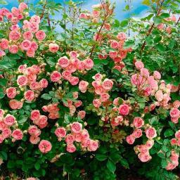 Kletterrose Mini Eden Rose®, im ca. 21 cm-Topf