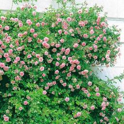 Rose New Dawn ®, im 4-Liter-Topf