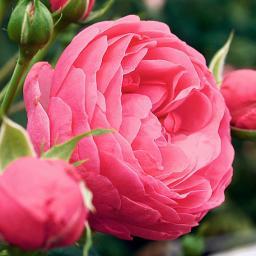 Rose Pomponella ®, im 5,5-Liter-Topf
