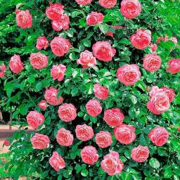 Rose Rosanna®, im 5,5-Liter-Topf