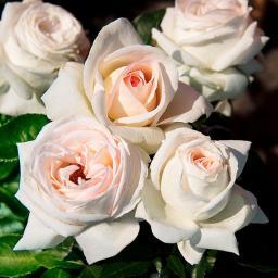 Rose Elvis®, im 5,5-Liter-Topf