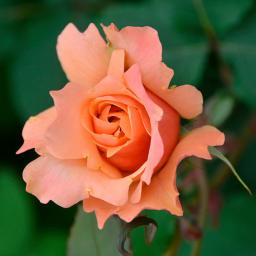 Rose Frenesie®, im 5,5-Liter-Topf
