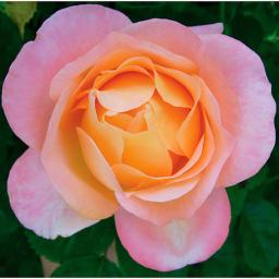 Edelrose Isabelle Autissier®, im 5,5-Liter-Topf