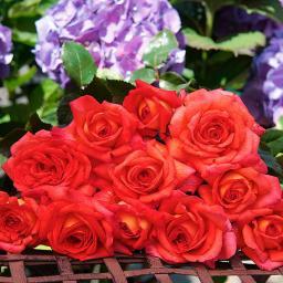 Rose Parfume de Grasse®, im 5,5-Liter-Topf