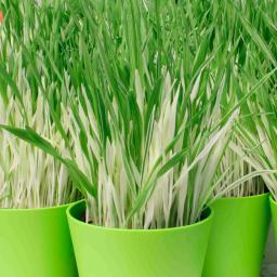 Katzen-Gras Samen Tabby