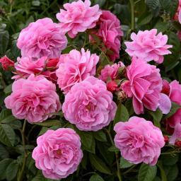Rose Camelot®, 1 Stück